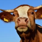 18.02.2019 Семь заповедей кормления крупного рогатого скота