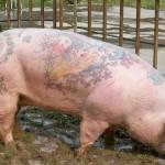 15.02.2019 Украинским свиньям будут набивать татуировки, а коровам повесят новые «сережки»