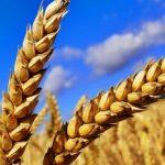 12.03.2019 В Евросоюзе ожидают высокий урожай пшеницы