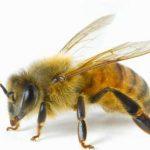 24.06.2019 Разрушение одного гена – шанс на борьбу с одноклеточным паразитом медоносной пчелы Nosema ceranae
