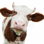 28.10.2019 Как характер и настроение фермеров влияют на коров